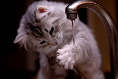 Do cats really hate water ?