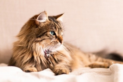 How to take care of long-haired cats